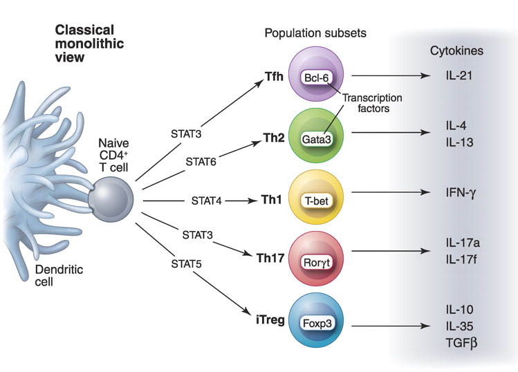 Helper T cell differentiation (O'Shea and Paul. 2010.