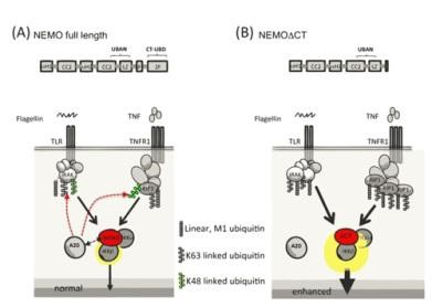 The NEMO C-terminus ubiquitin binding domain negatively regulates TNF and TLR-induced NF-kB activation by recruiting A20 (A). In its absence, canonical IKK activity is enhanced (B).