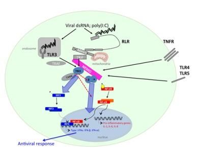 NEMO/TBK1 interaction is required for RLR induced p65 phosphorylation and nuclear translocation.