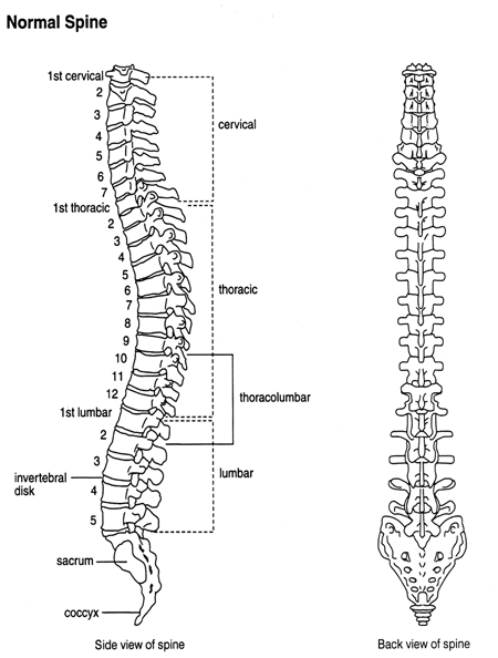 An anatomical illustration depicting front and sideviews of the spine. The cervical spine, thoracic spine, lumbar spine, sacrum, coccyx and intervertebrals disks are labeled.