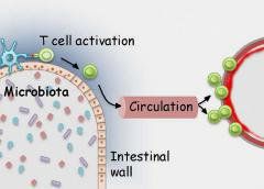 Microbiota in the gut activate T cells that are able to recognize retinal proteins.