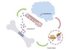 Lipocalin 2, a hormone triggered by feeding and produced by osteoblasts, acts on neurons in the hypothalamus to curb appetite and reduce food intake.