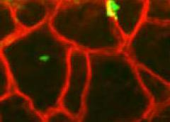 Photo showing pharyngeal satellite cells in green fusing with pharyngeal muscle fibers in red.